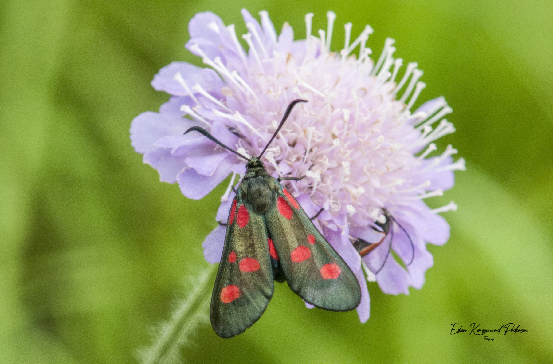 sommerfugle-guldsmede-1