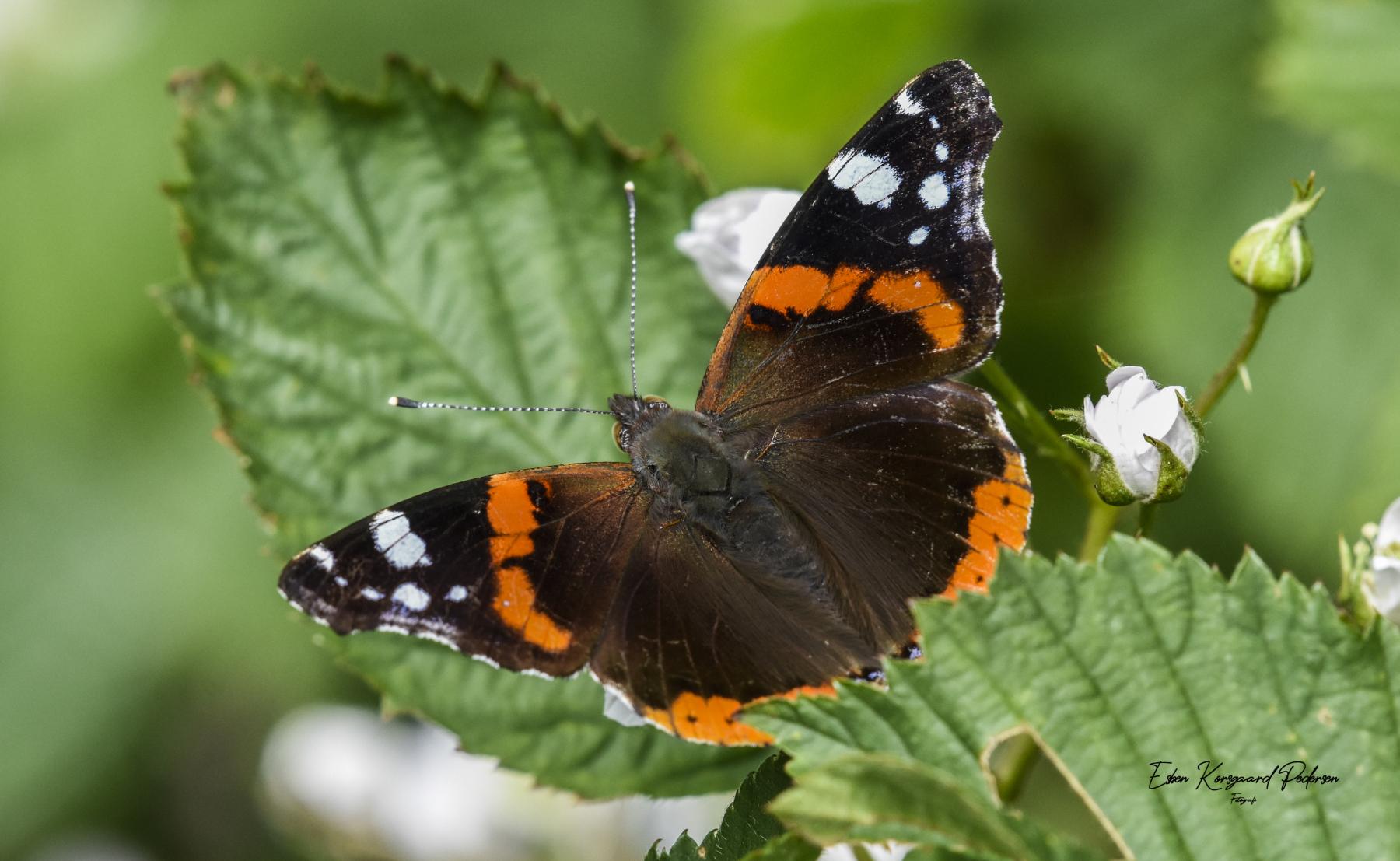 sommerfugle-guldsmede-11