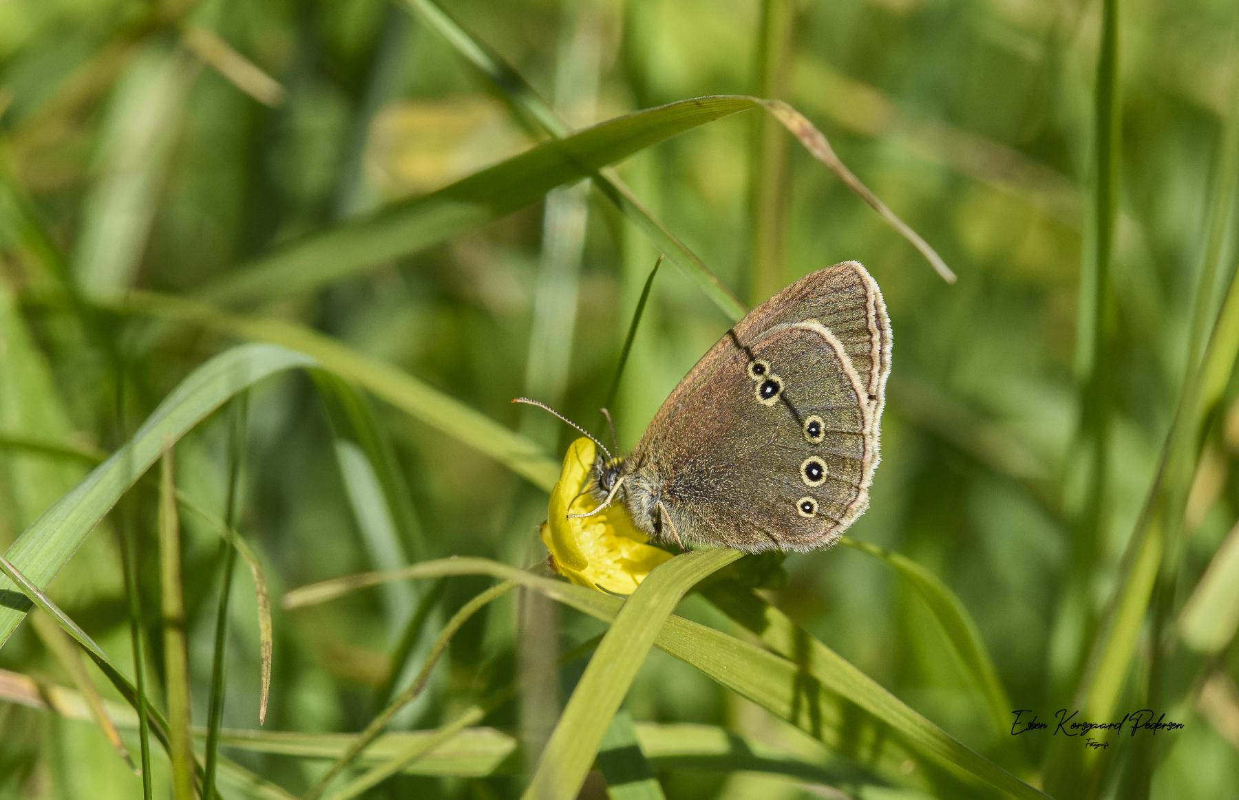 sommerfugle-guldsmede-12