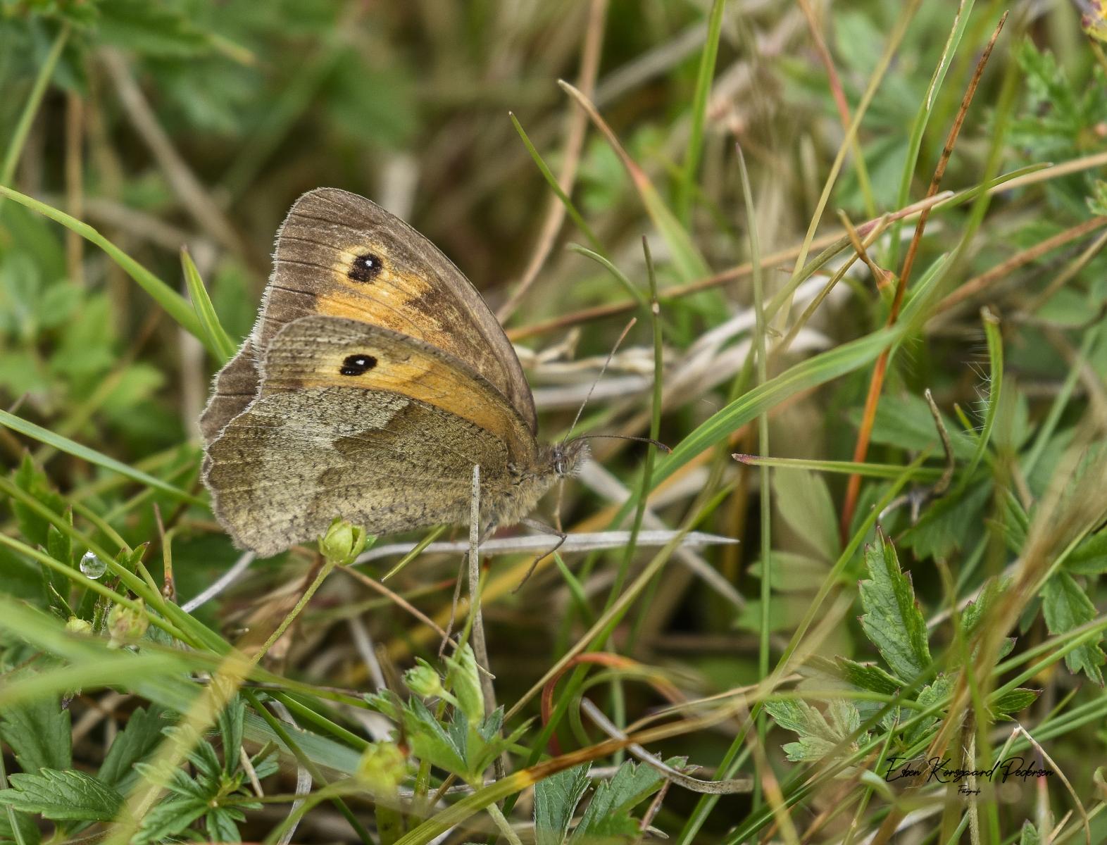 sommerfugle-guldsmede-13