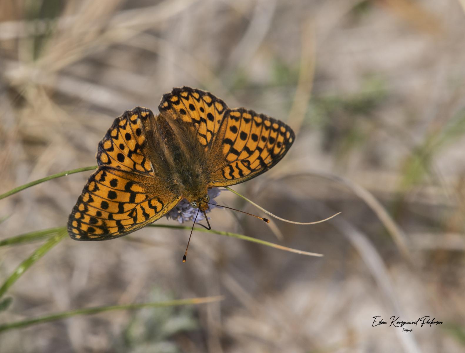sommerfugle-guldsmede-14