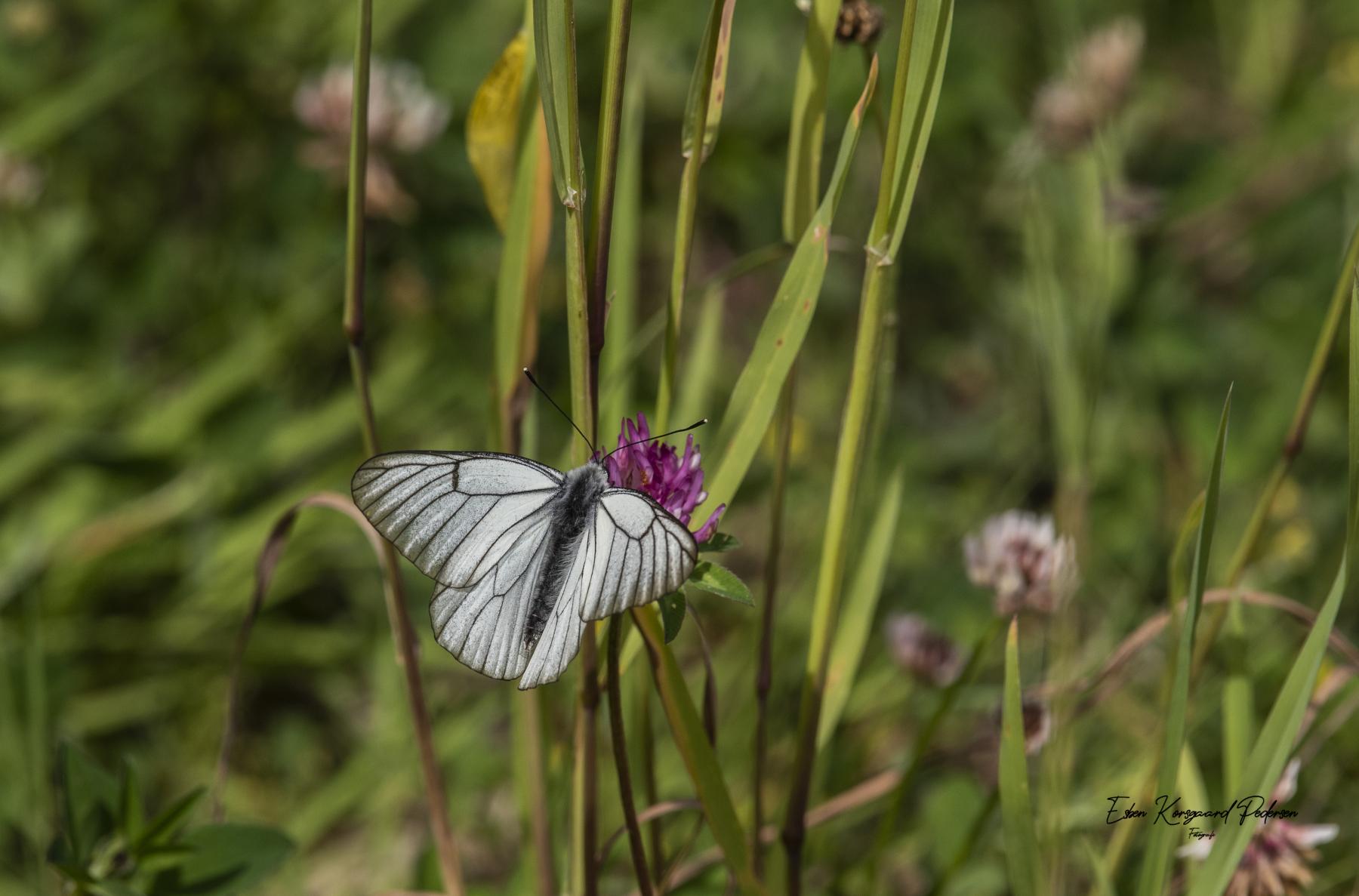 sommerfugle-guldsmede-17