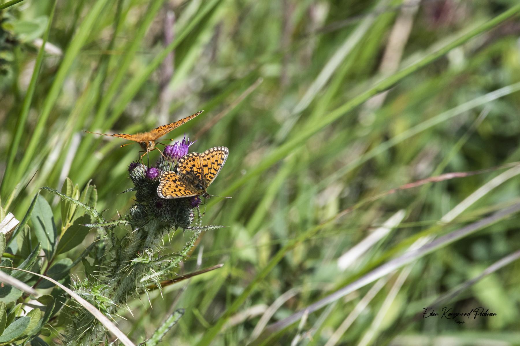 sommerfugle-guldsmede-18
