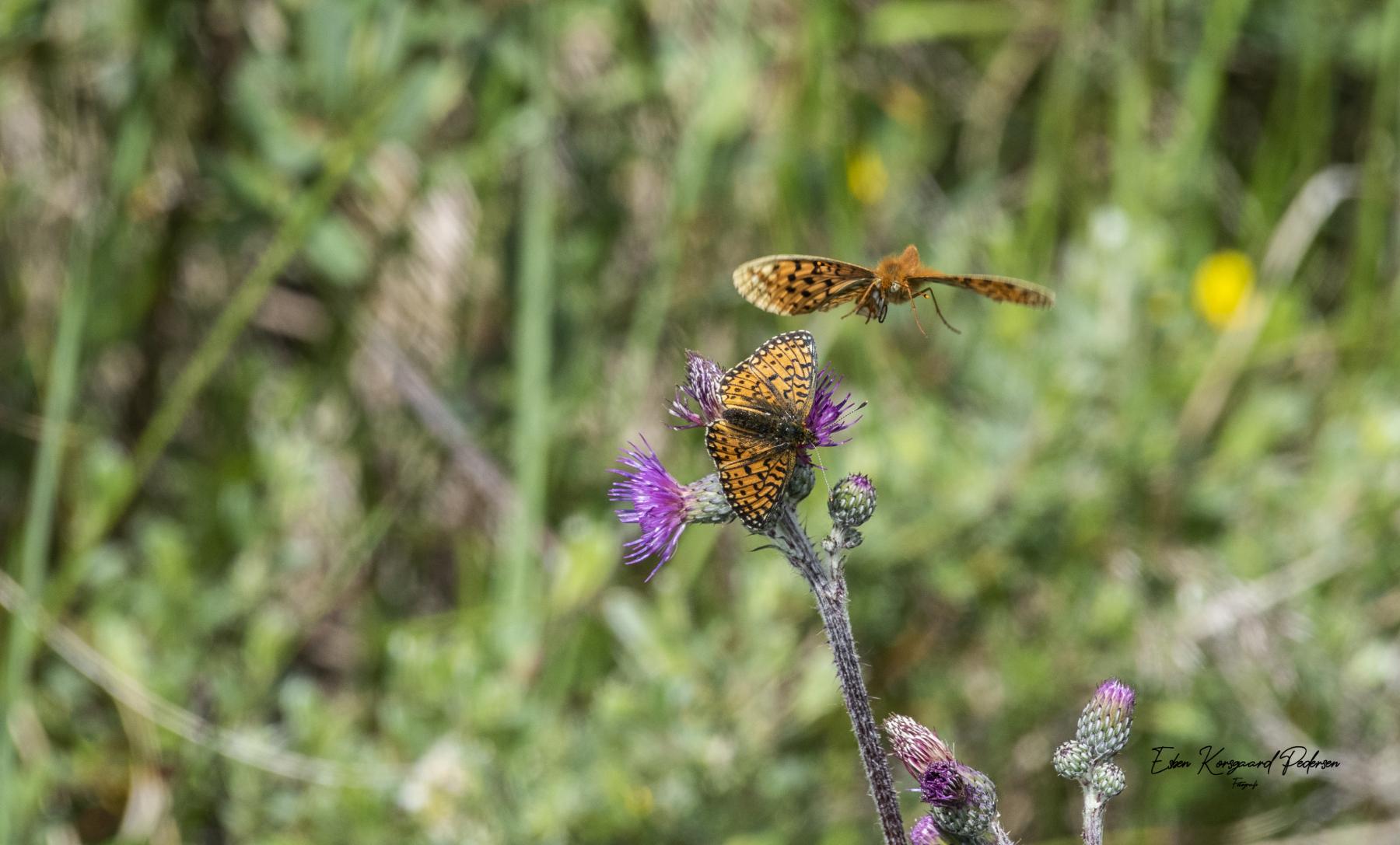 sommerfugle-guldsmede-19