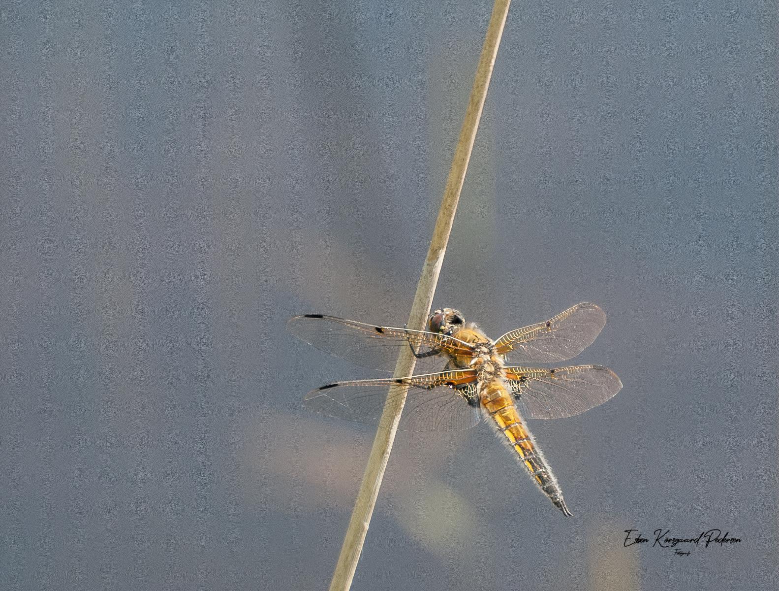 sommerfugle-guldsmede-2