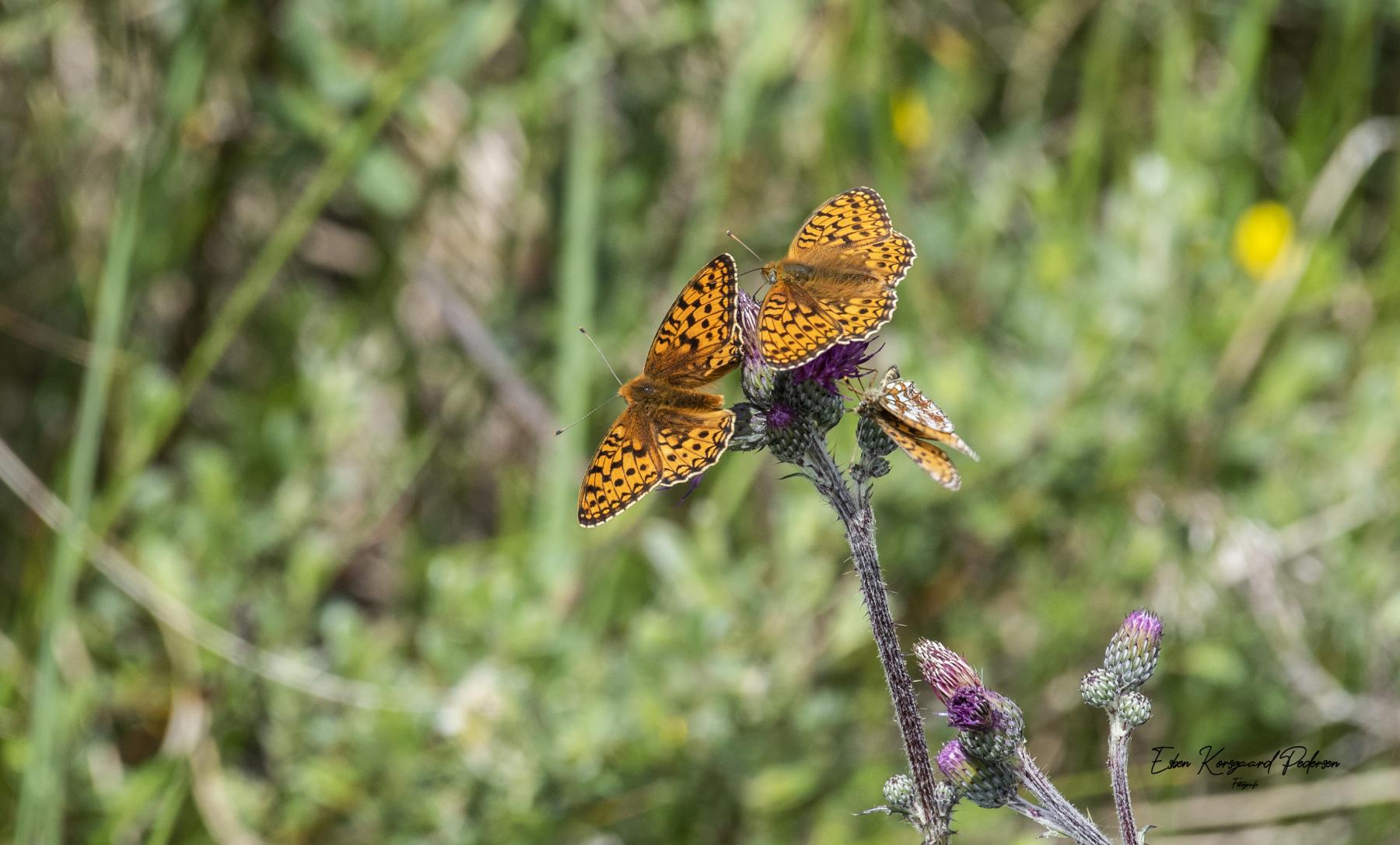 sommerfugle-guldsmede-20