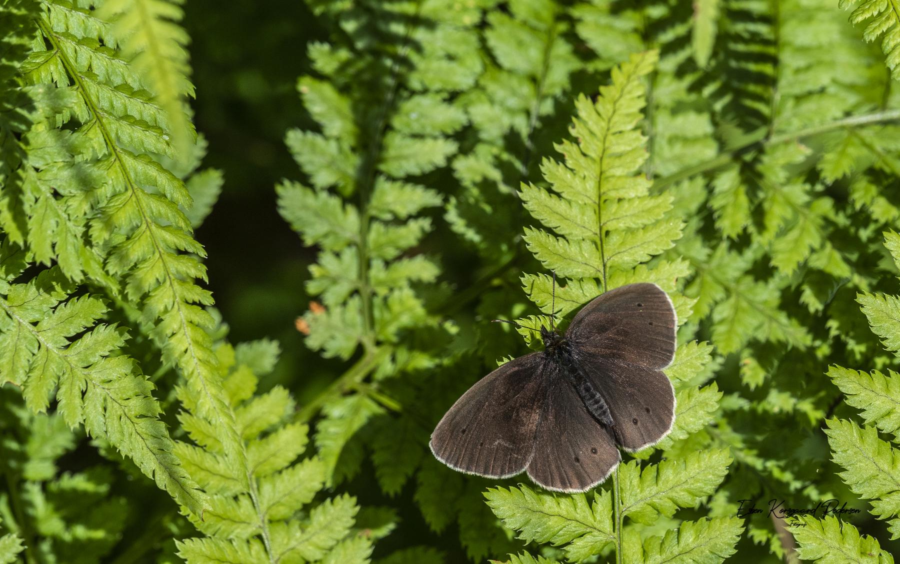 sommerfugle-guldsmede-22