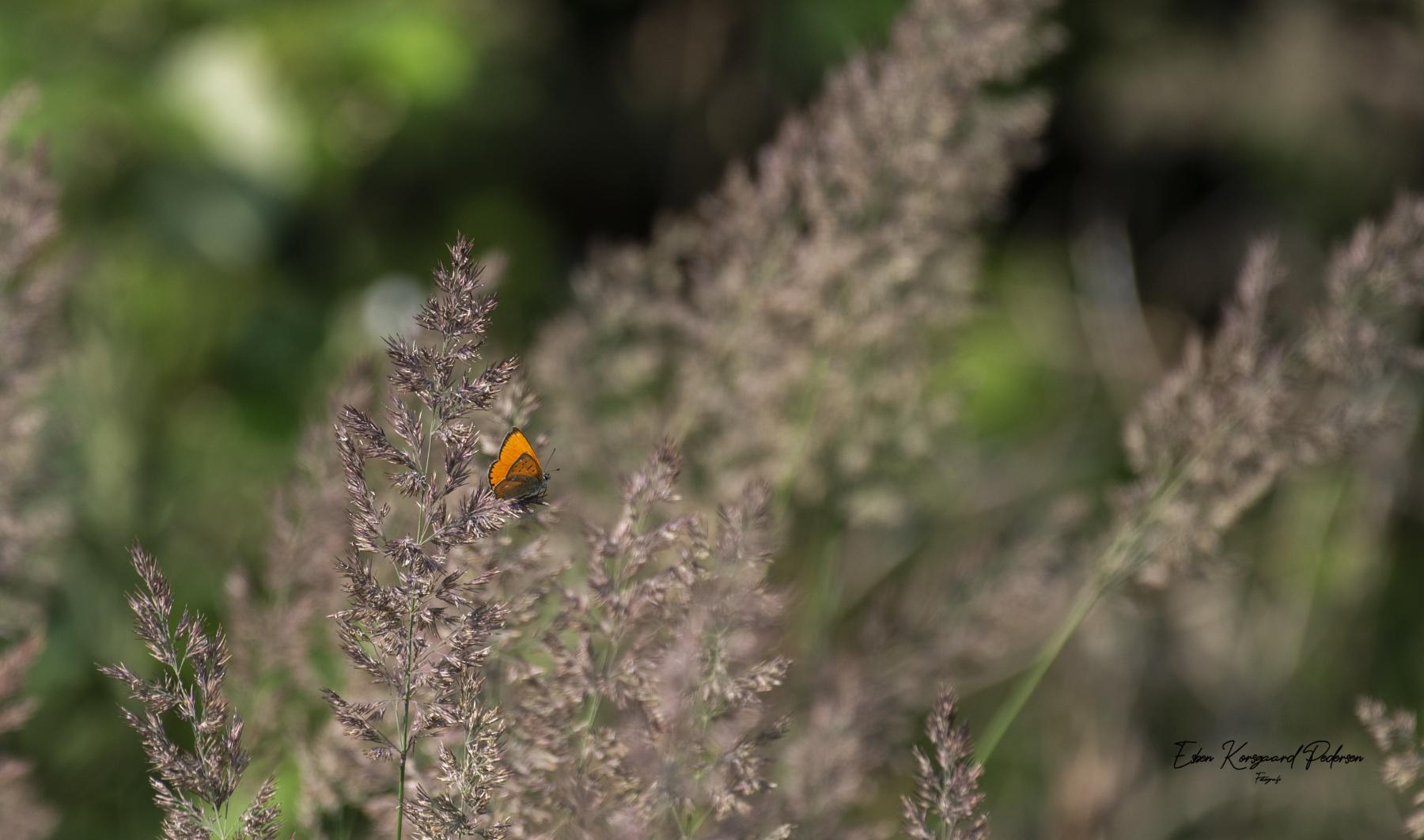 sommerfugle-guldsmede-23