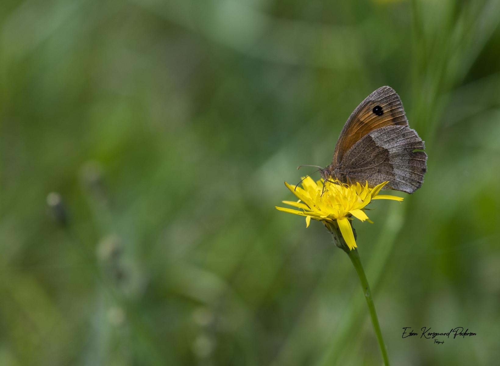 sommerfugle-guldsmede-24
