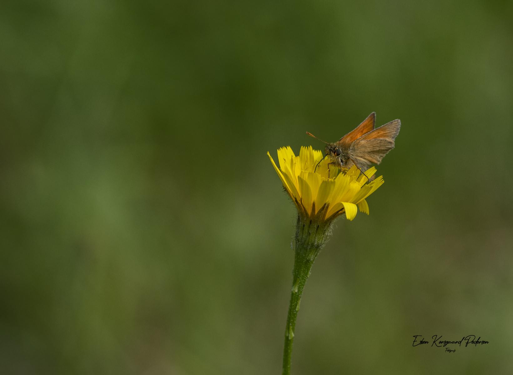 sommerfugle-guldsmede-25