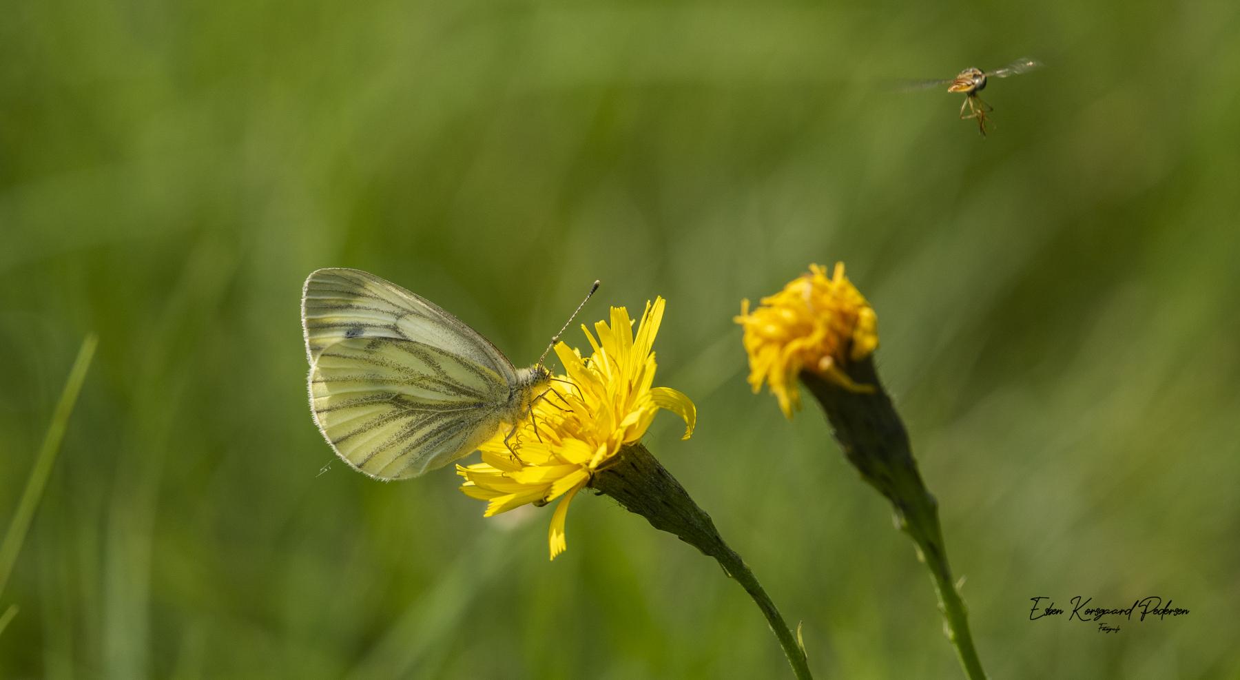 sommerfugle-guldsmede-26