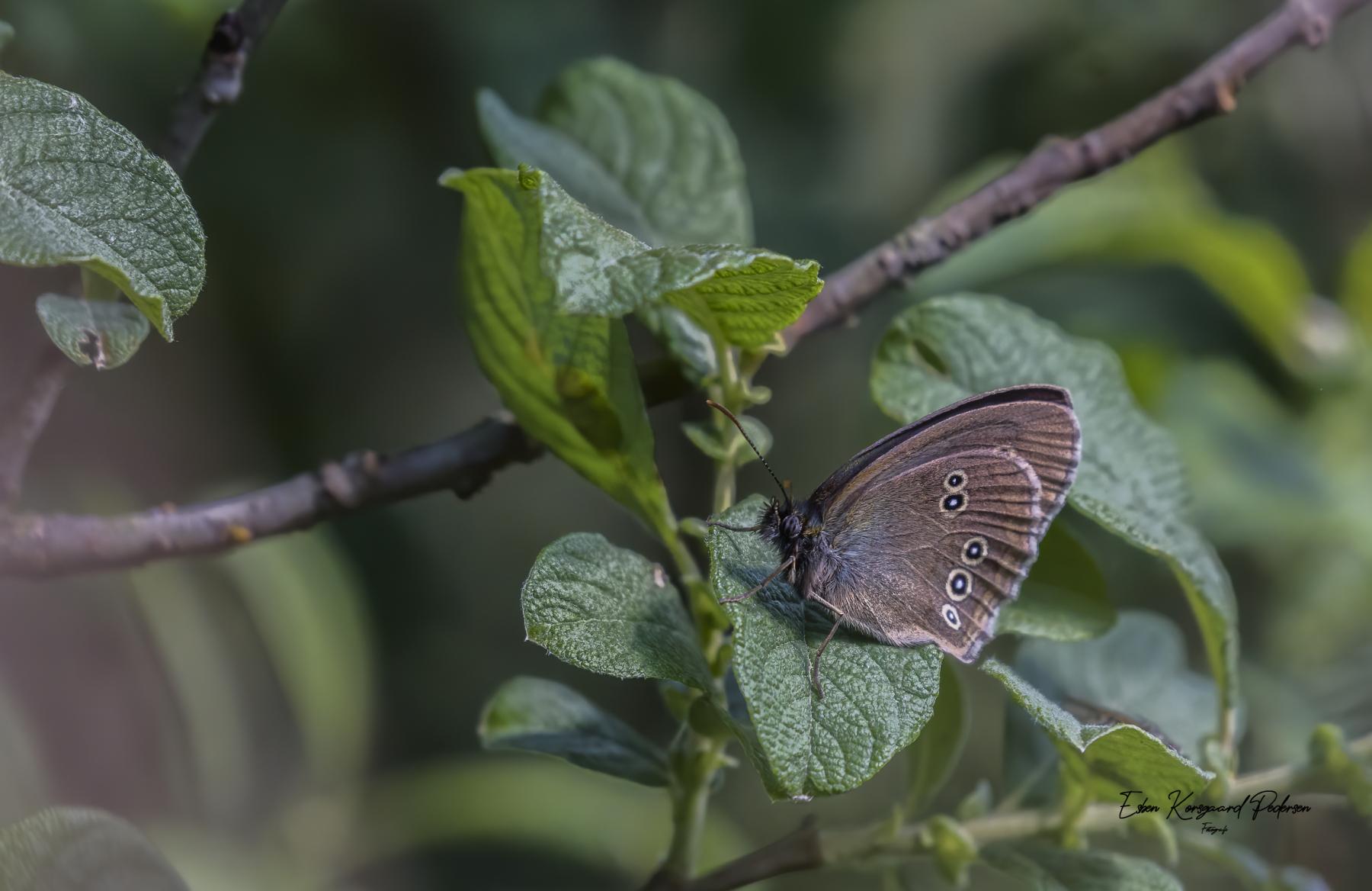 sommerfugle-guldsmede-27