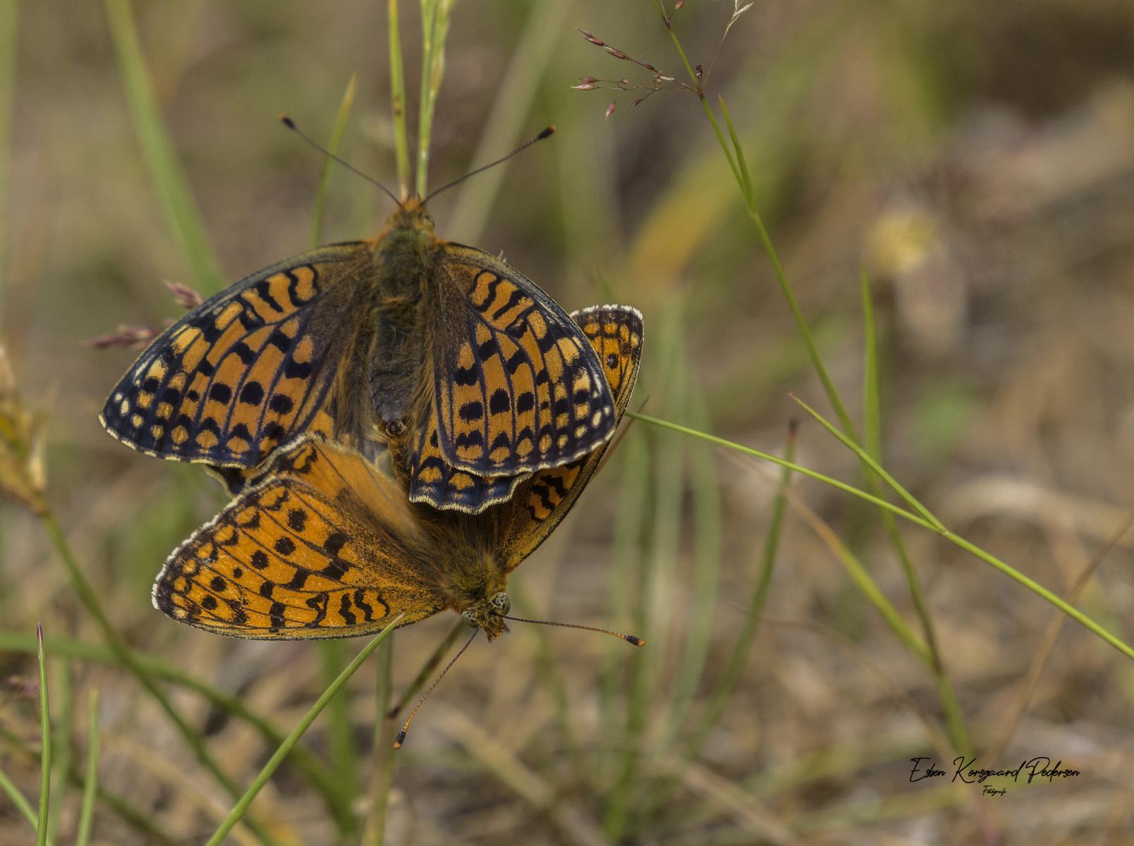 sommerfugle-guldsmede-28