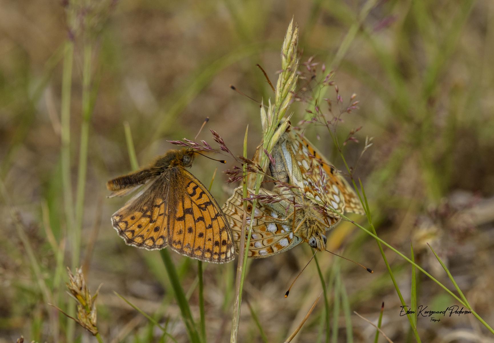 sommerfugle-guldsmede-29