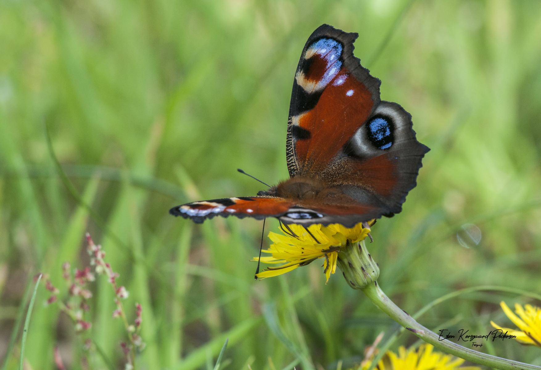 sommerfugle-guldsmede-3