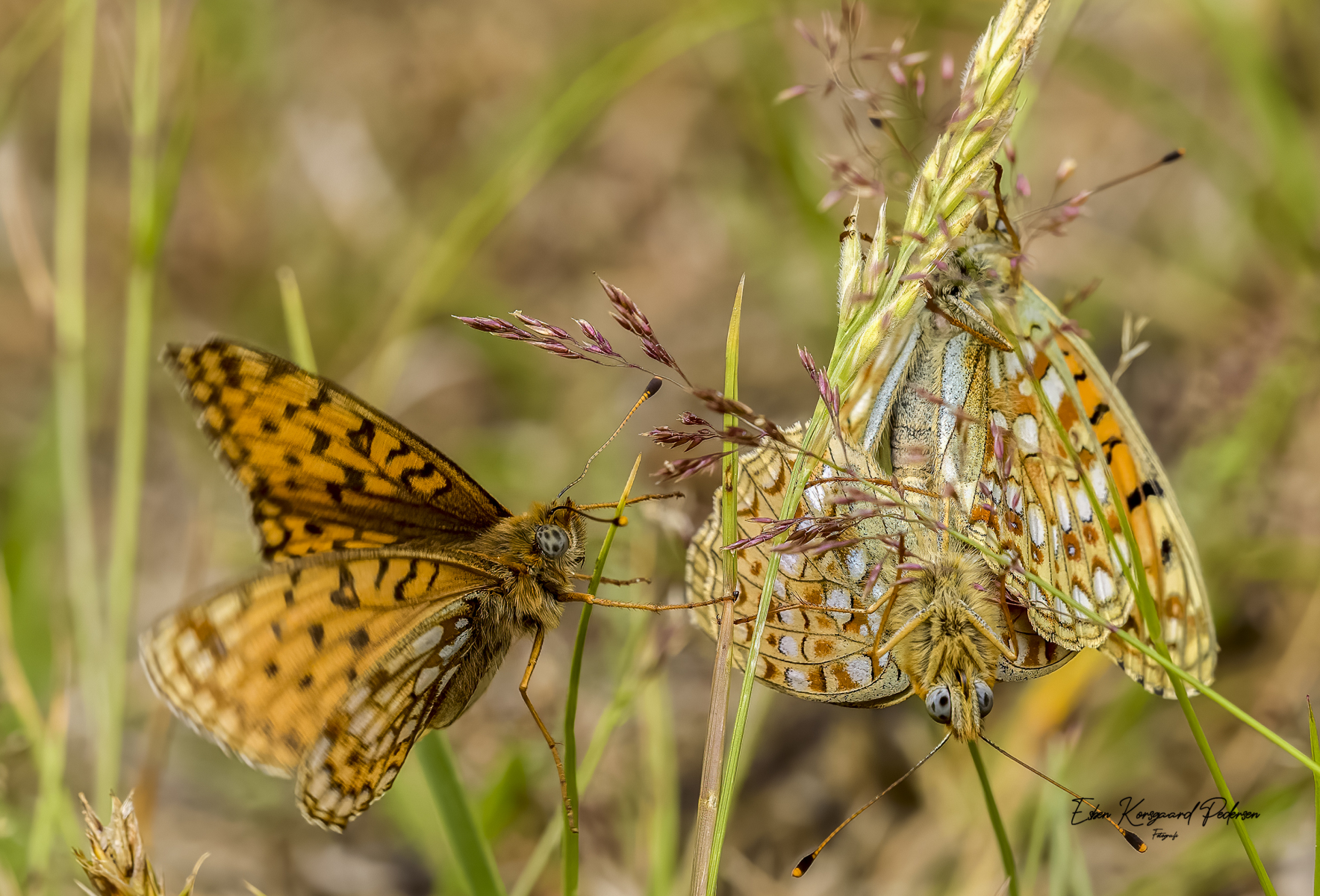 sommerfugle-guldsmede-30