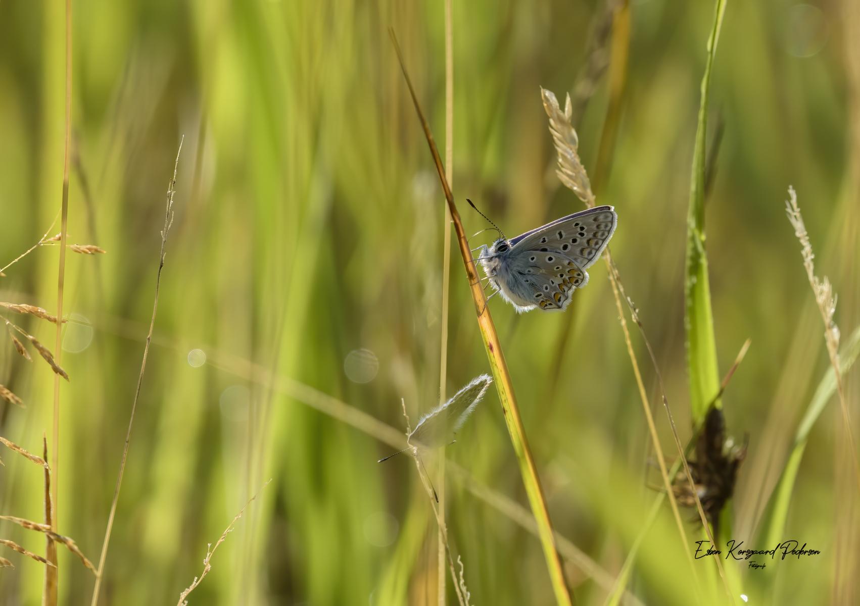 sommerfugle-guldsmede-31
