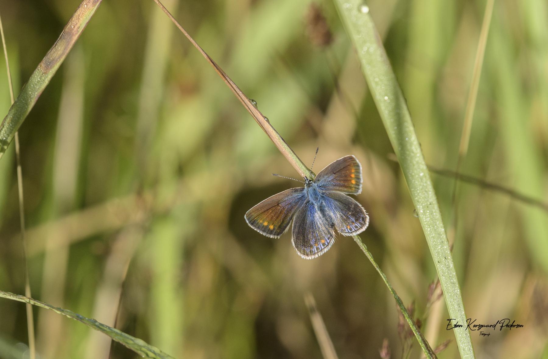 sommerfugle-guldsmede-32