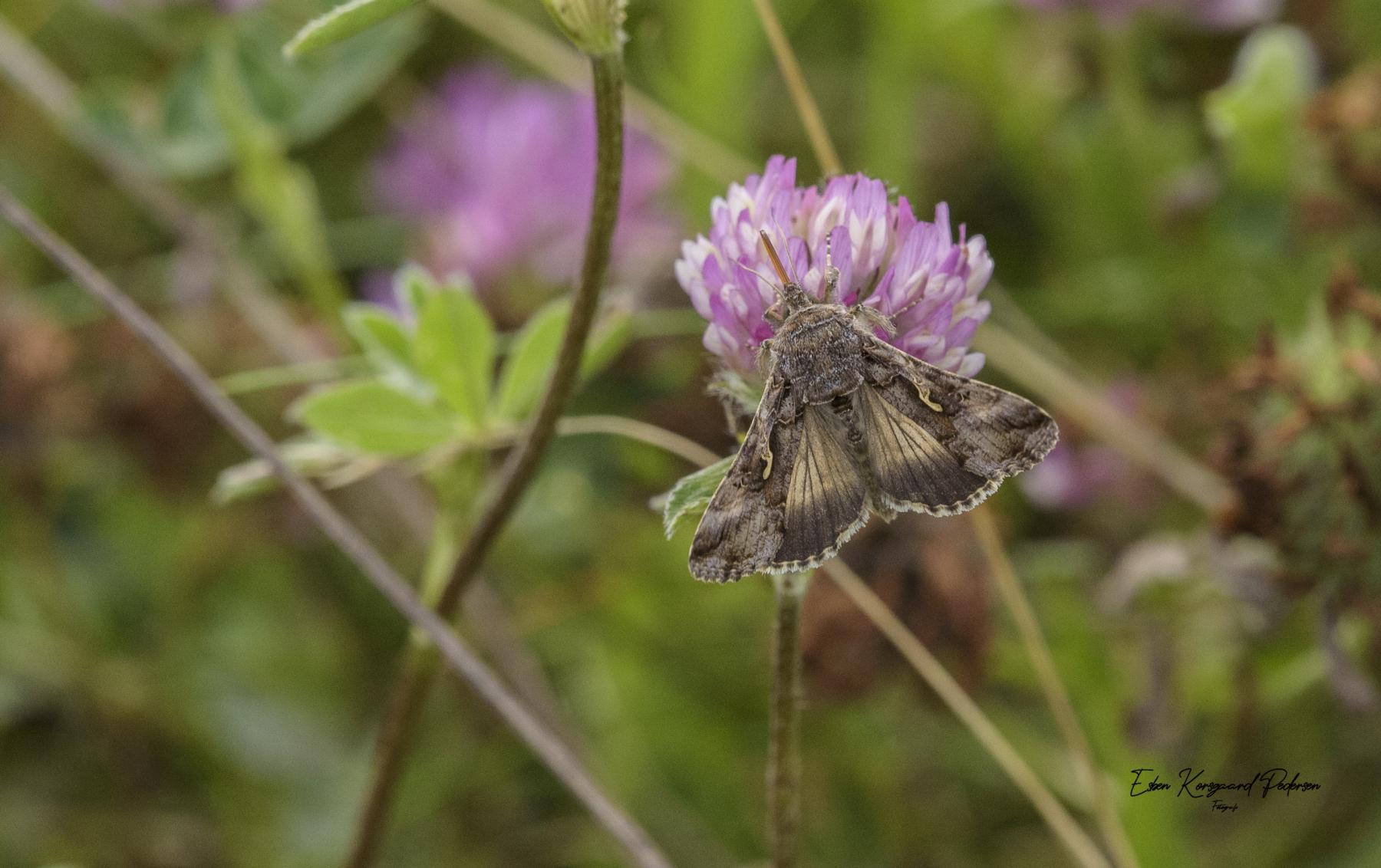 sommerfugle-guldsmede-33