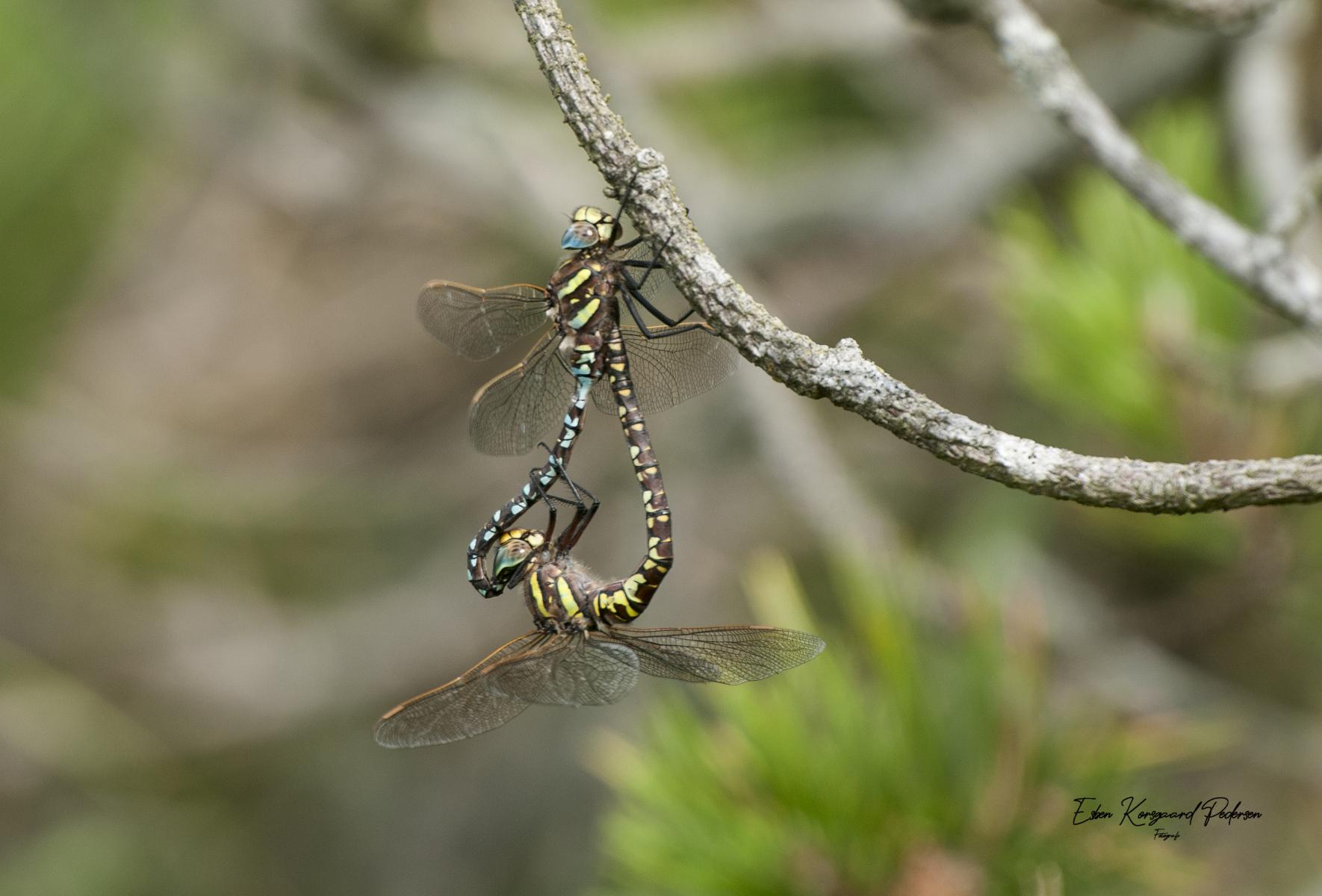 sommerfugle-guldsmede-35