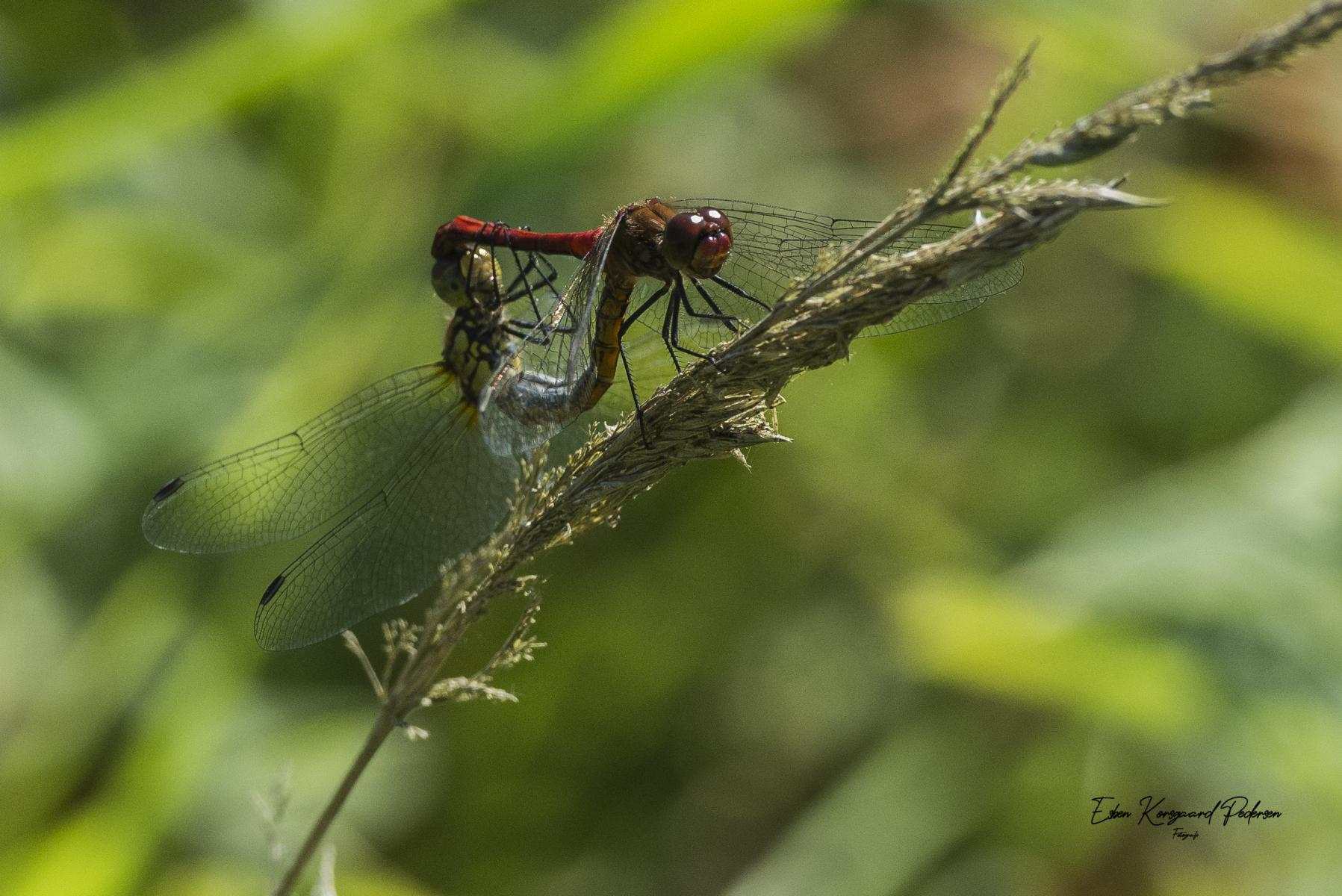 sommerfugle-guldsmede-37