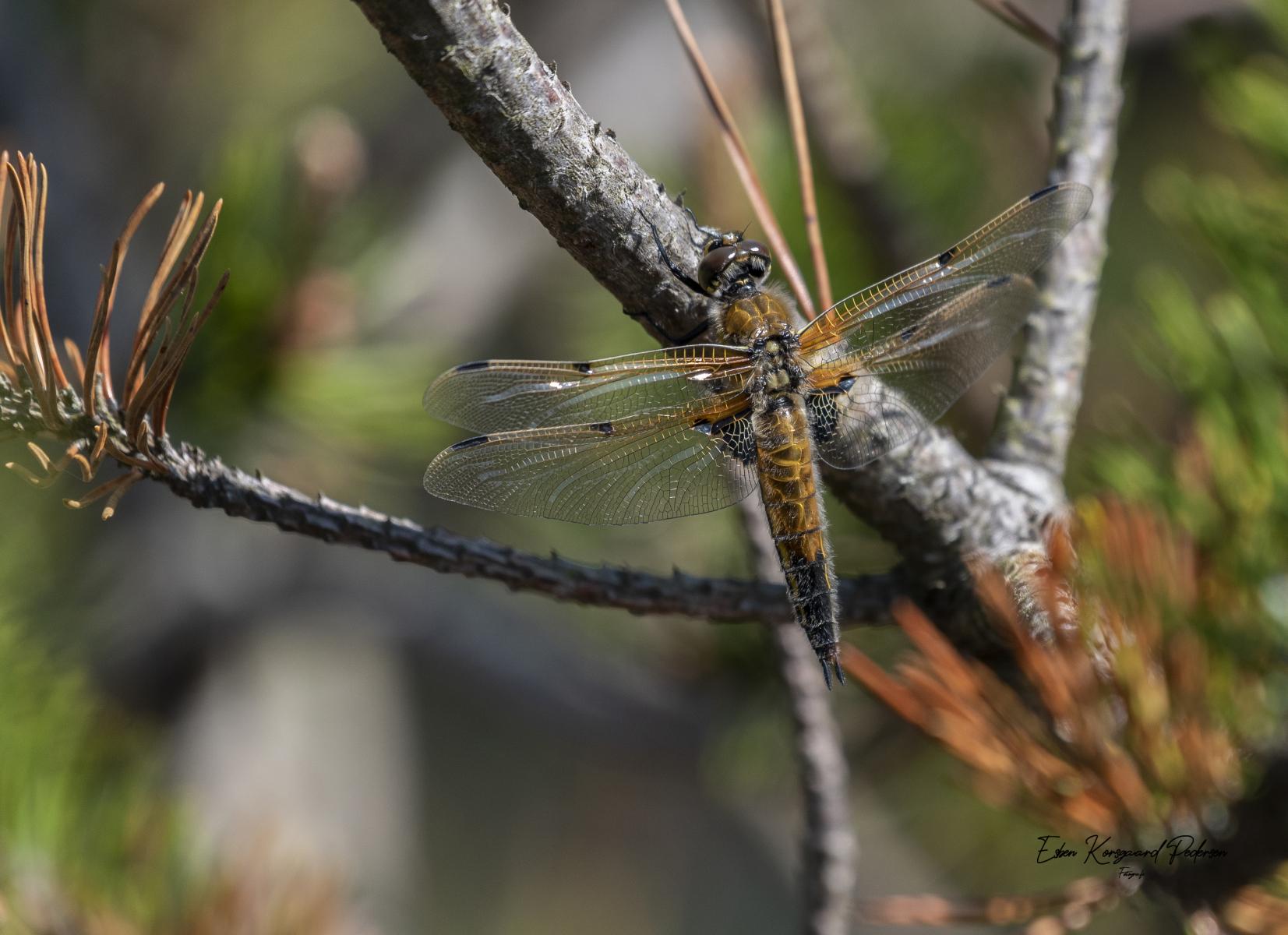sommerfugle-guldsmede-38