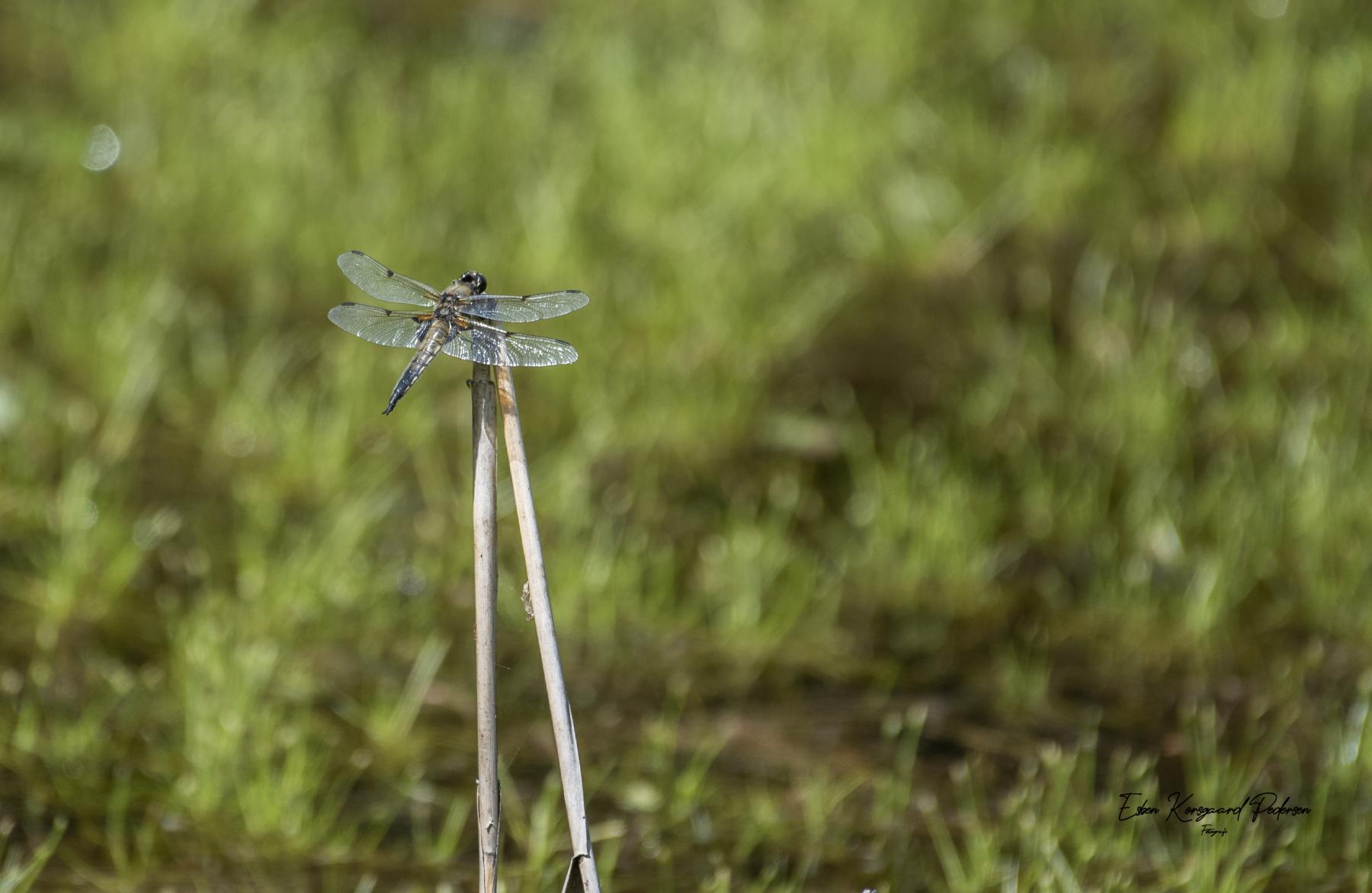 sommerfugle-guldsmede-39