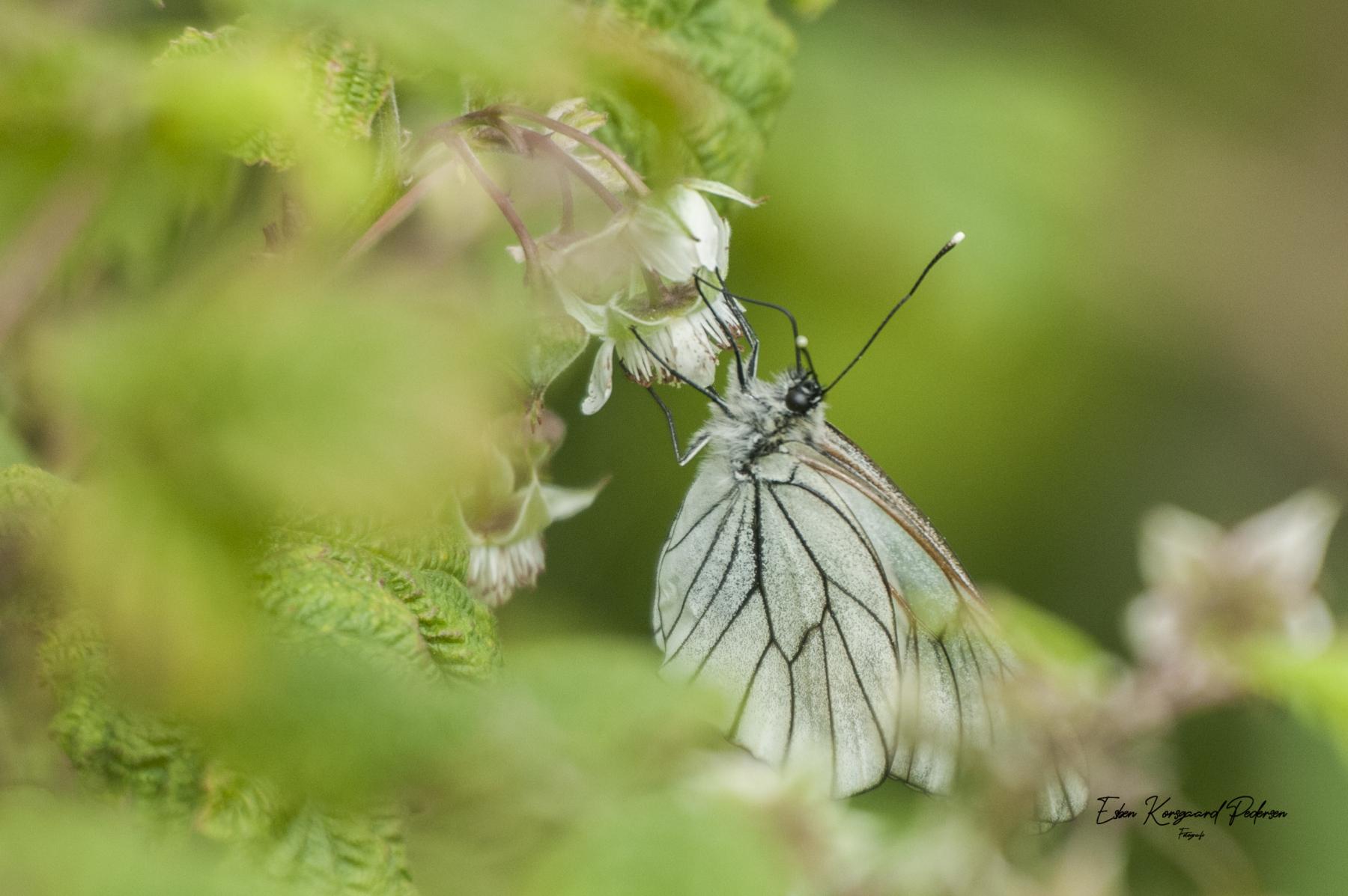 sommerfugle-guldsmede-4