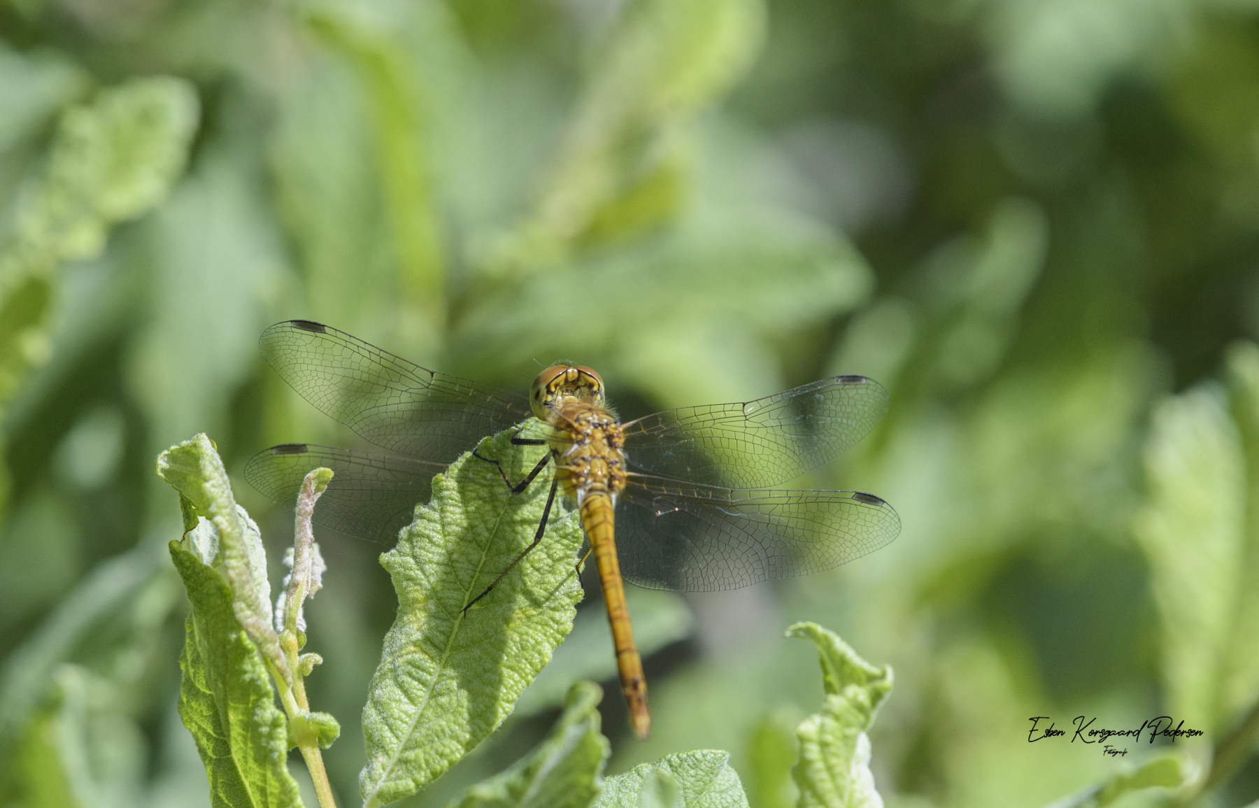 sommerfugle-guldsmede-42