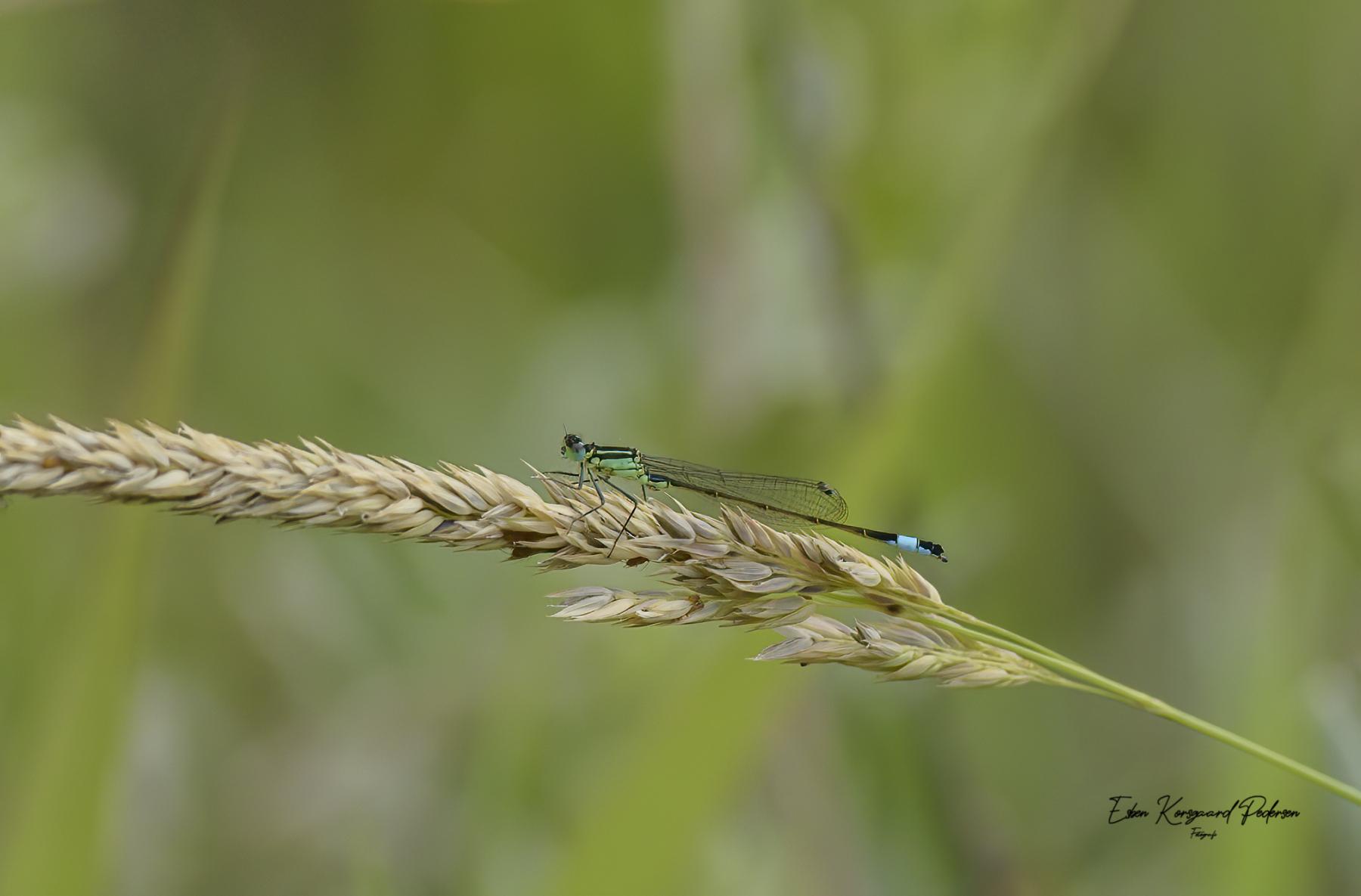 sommerfugle-guldsmede-44
