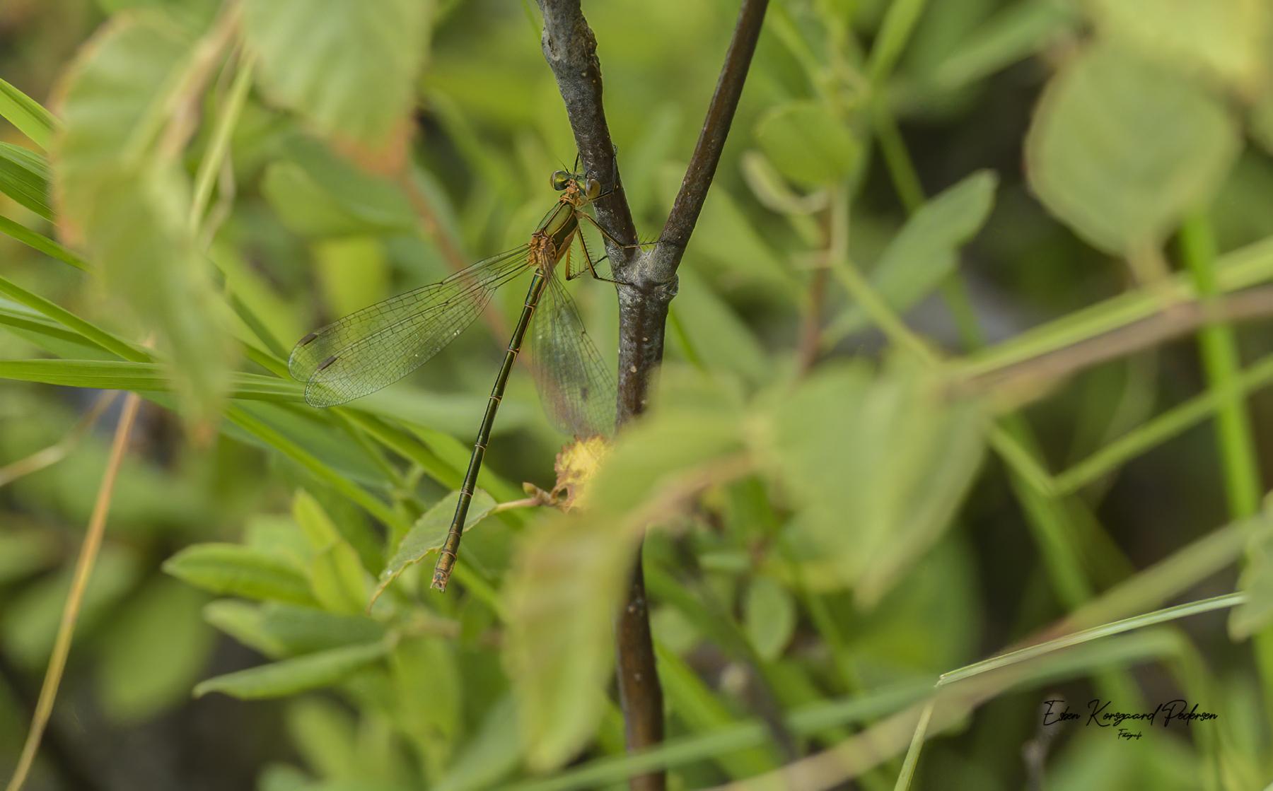 sommerfugle-guldsmede-46