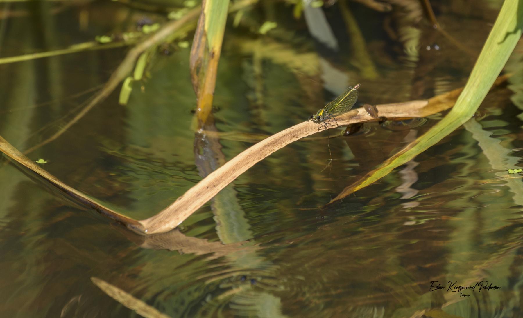 sommerfugle-guldsmede-47