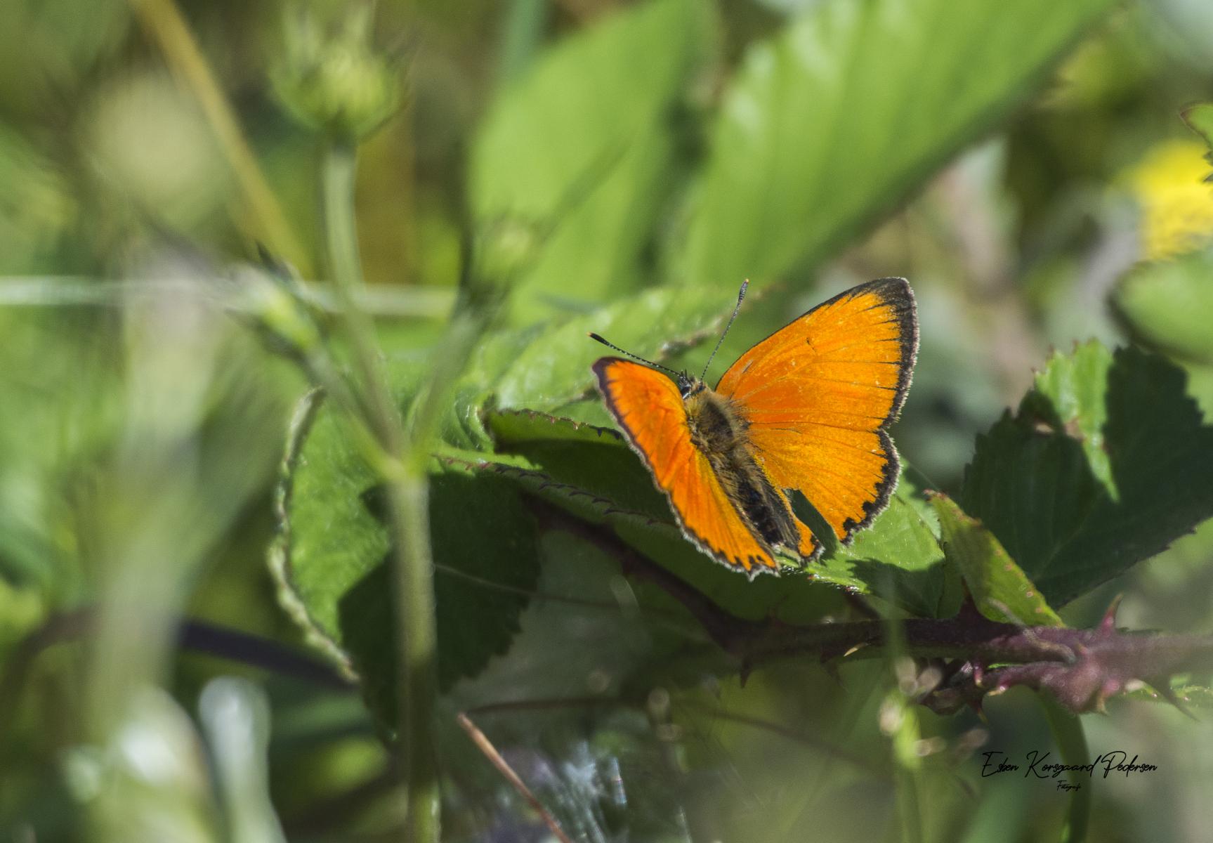 sommerfugle-guldsmede-5
