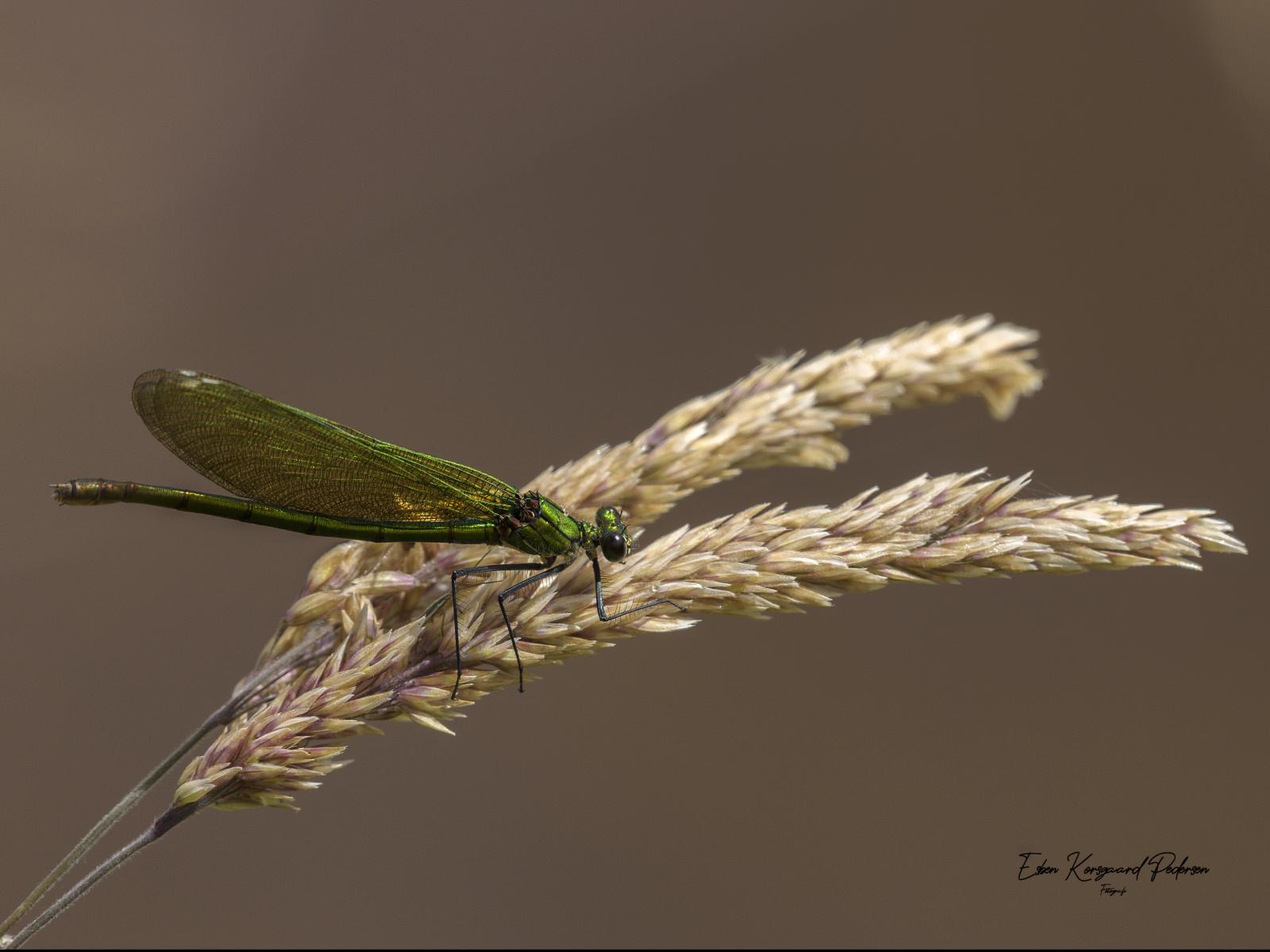 sommerfugle-guldsmede-51