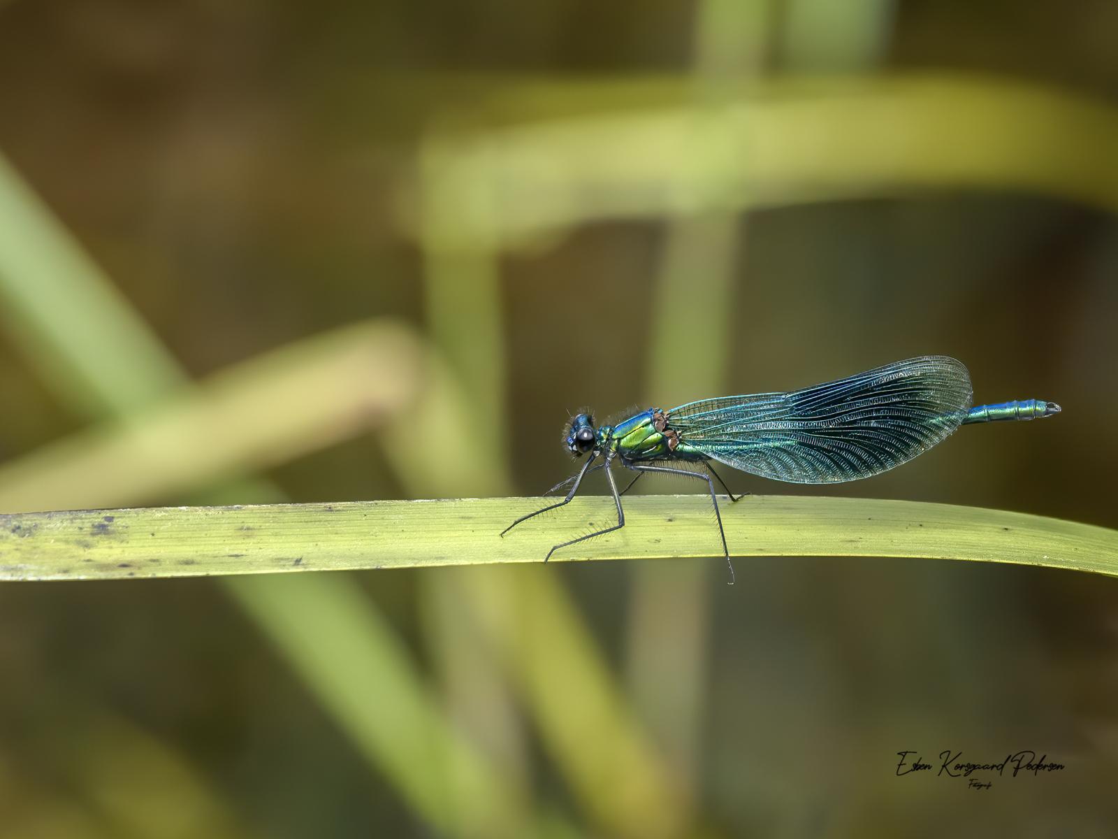 sommerfugle-guldsmede-52