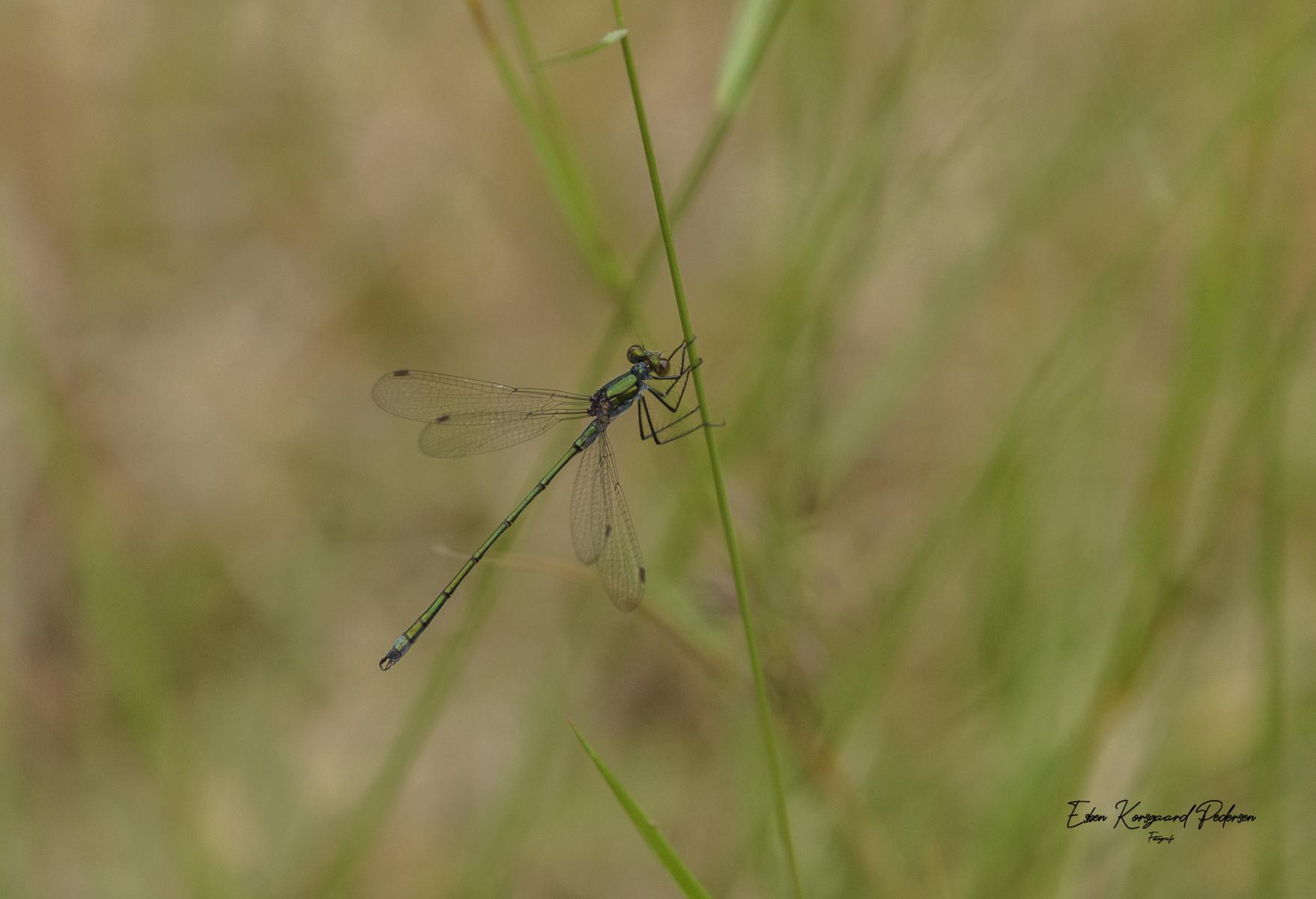sommerfugle-guldsmede-53