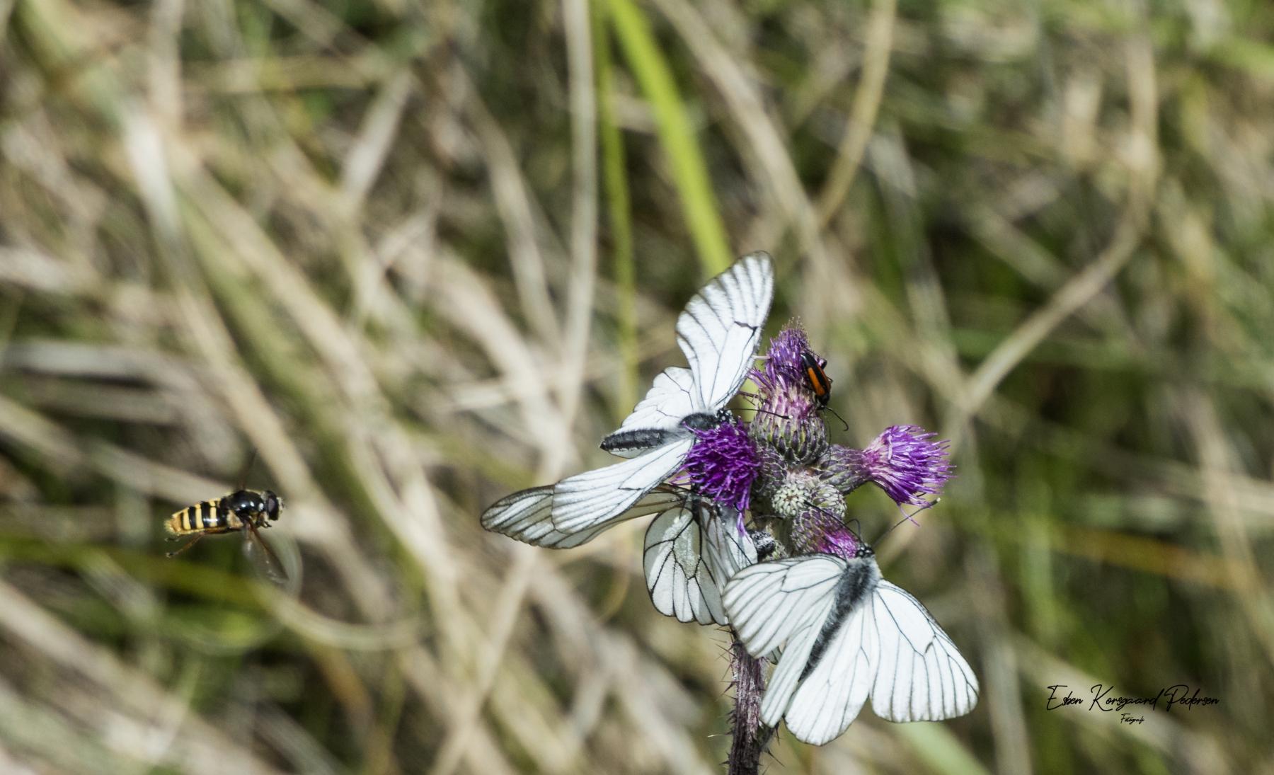 sommerfugle-guldsmede-6