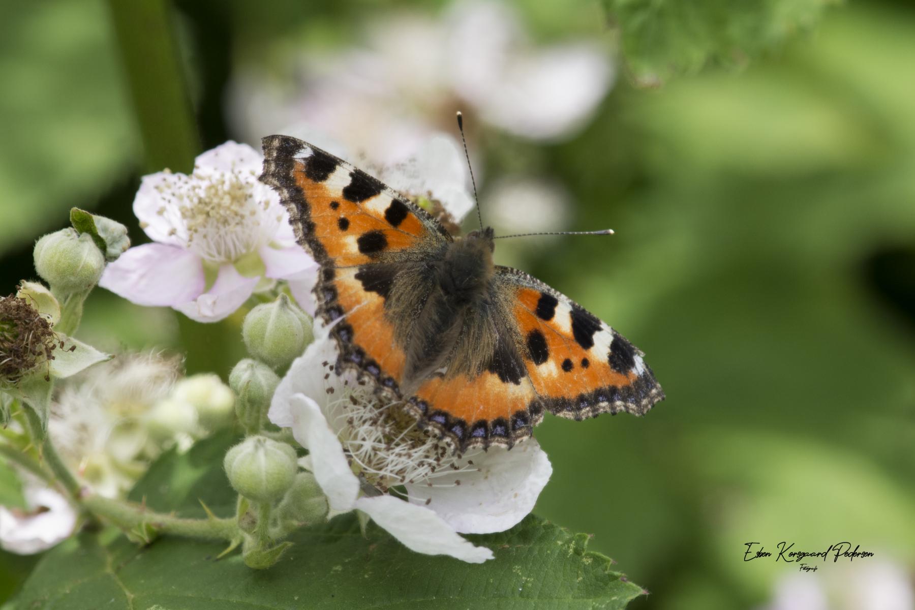 sommerfugle-guldsmede-7
