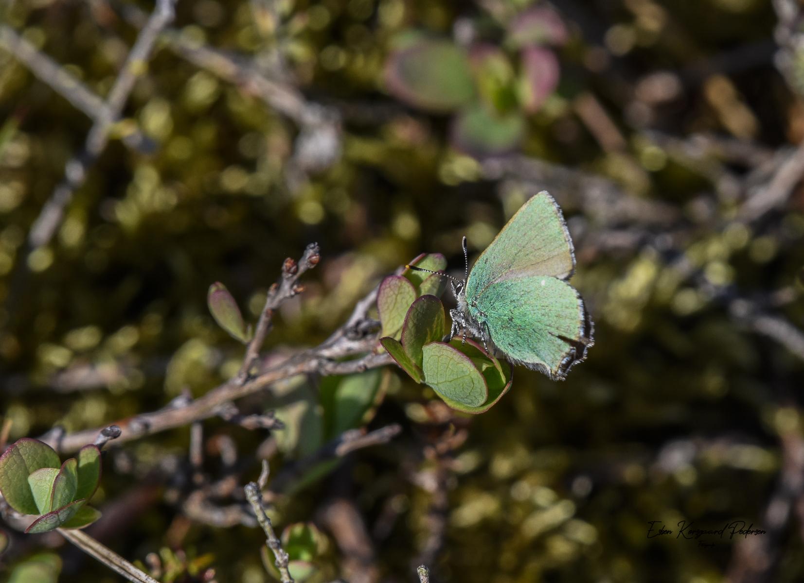 sommerfugle-guldsmede-8