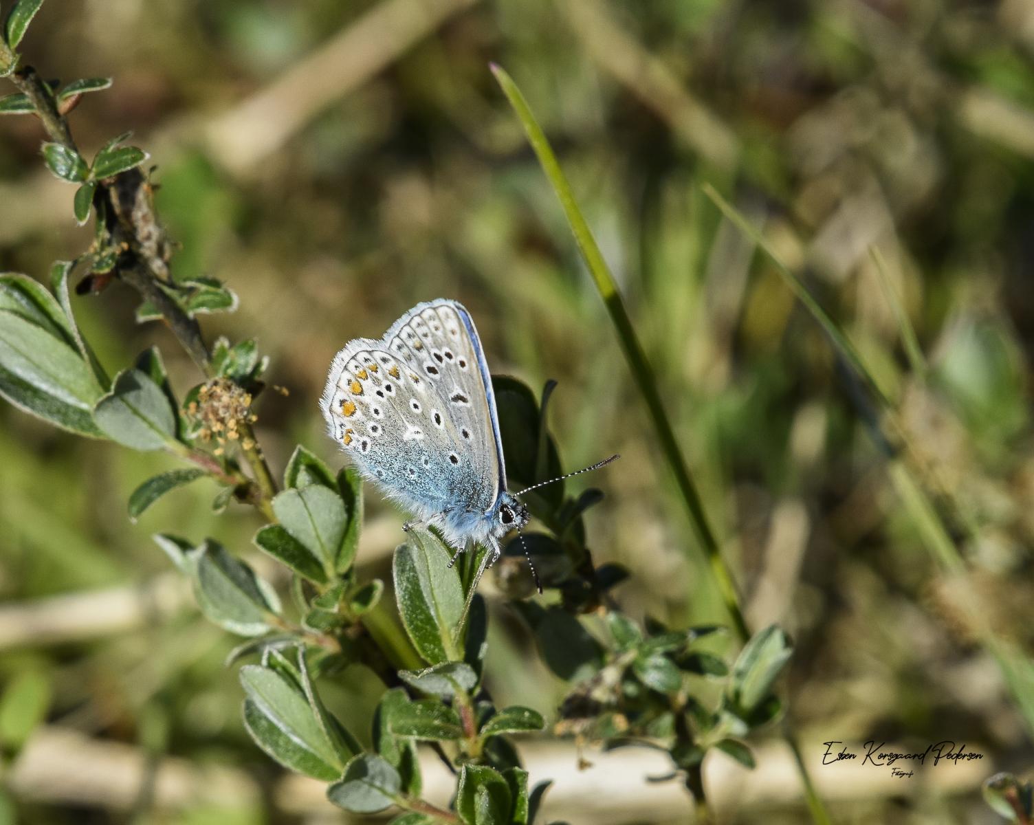 sommerfugle-guldsmede-9